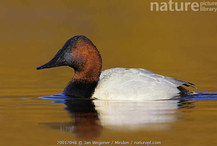 Canvasback (Aythya valisineria) drake, Victoria, Canada  ,  Adult, Aythya valisineria, Canvasback, Color Image, Day, Drake, Full Length, Horizontal, Male, Nobody, One Animal, Outdoors, Photography, Side View, Vancouver, Waterfowl, Wildlife,Canvasback,Canada  ,  Jan Wegener