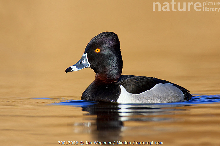 Ring-necked Duck (Aythya collaris) drake, Vancouver, British Columbia, Canada  ,  Adult, Aythya collaris, Color Image, Day, Drake, Full Length, Horizontal, Male, Nobody, One Animal, Outdoors, Photography, Ring-necked Duck, Side View, Vancouver, Waterfowl, Wildlife,Ring-necked Duck,Canada  ,  Jan Wegener