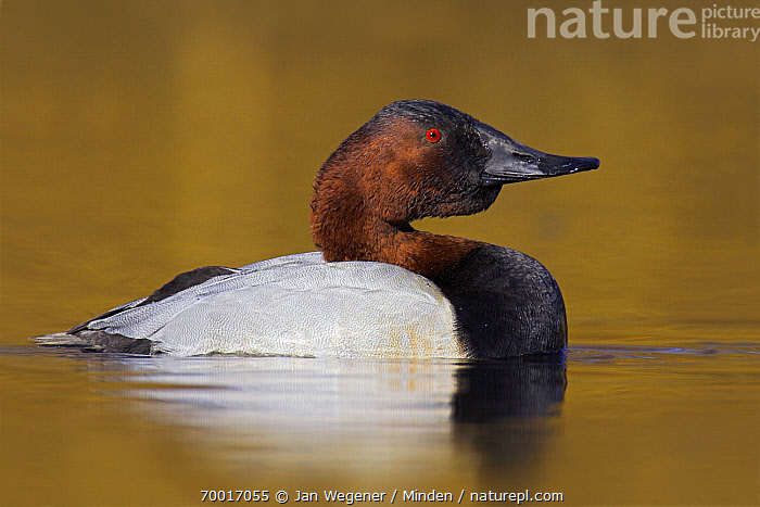 Canvasback (Aythya valisineria) drake displaying on the water, Victoria, Canada  ,  Adult, Aythya valisineria, Canvasback, Color Image, Day, Displaying, Drake, Full Length, Horizontal, Male, Nobody, One Animal, Outdoors, Photography, Side View, Vancouver, Waterfowl, Wildlife,Canvasback,Canada  ,  Jan Wegener