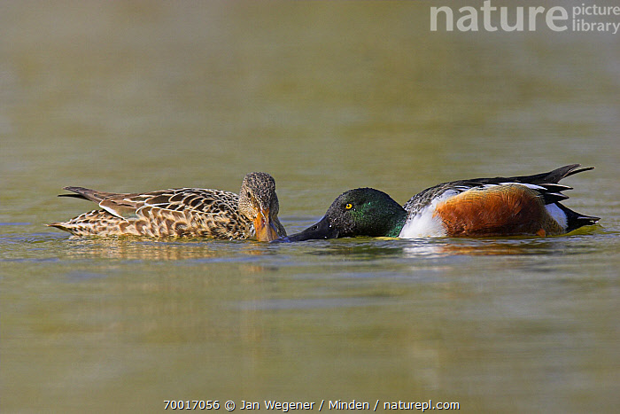 Northern Shoveler (Anas clypeata) pair courting, Vancouver, British Columbia, Canada  ,  Adult, Anas clypeata, British Columbia, Canada, Color Image, Courting, Courtship, Day, Drake, Duck, Facing, Female, Full Length, Horizontal, Male, Nobody, Northern Shoveler, Outdoors, Pair, Photography, Sexual Dimorphism, Side View, Two Animals, Vancouver, Waterfowl, Wildlife,Northern Shoveler,Canada  ,  Jan Wegener