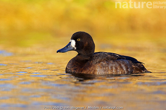 Greater Scaup (Aythya marila) female on water, Vancouver, British Columbia, Canada  ,  Adult, Aythya marila, British Columbia, Canada, Color Image, Day, Duck, Female, Full Length, Greater Scaup, Horizontal, Nobody, One Animal, Outdoors, Photography, Side View, Vancouver, Waterfowl, Wildlife,Greater Scaup,Canada  ,  Jan Wegener
