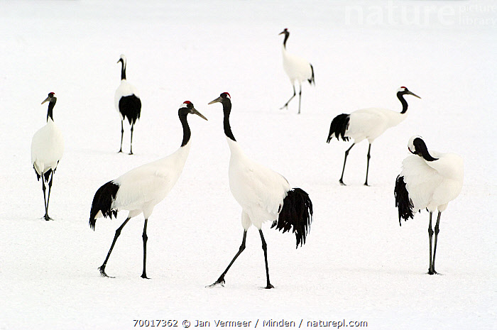 Red-crowned Crane (Grus japonensis) group in the snow, Hokkaido, Japan  ,  Adult, Black And White, Color Image, Day, Flock, Full Length, Grus japonensis, Hokkaido, Horizontal, Japan, Medium Group of Animals, Nobody, Outdoors, Photography, Rear View, Red-crowned Crane, Side View, Snow, Standing, Wading Bird, Wildlife,Red-crowned Crane,Japan  ,  Jan Vermeer