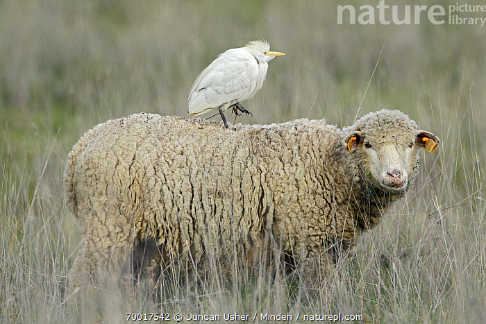 Cattle Egret (Bubulcus ibis) on back of a Merino Sheep (Ovis aries), Alentejo, Portugal  ,  Adult, Alentejo, Bubulcus ibis, Cattle Egret, Color Image, Commensal, Day, Domestic Animal, Full Length, Horizontal, Merino Sheep, Nobody, Outdoors, Ovis aries, Photography, Portugal, Side View, Tagged, Two Animals, Wading Bird,Cattle Egret,Merino Sheep,Ovis aries,Portugal  ,  Duncan Usher