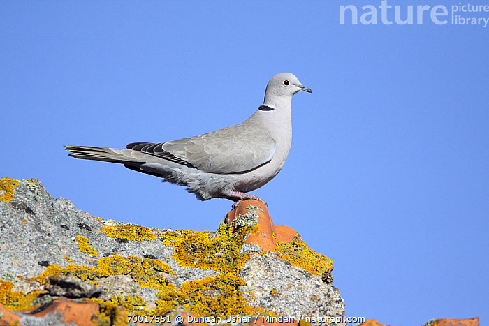 Eurasian Collared-Dove (Streptopelia decaocto) perched on roof covered with lichens, Alentejo, Portugal  ,  Adult, Alentejo, Color Image, Day, Eurasian Collared-Dove, Full Length, Horizontal, Lichen, Nobody, One Animal, Outdoors, Photography, Portugal, Roof, Side View, Streptopelia decaocto, Wildlife,Eurasian Collared-Dove,Portugal  ,  Duncan Usher