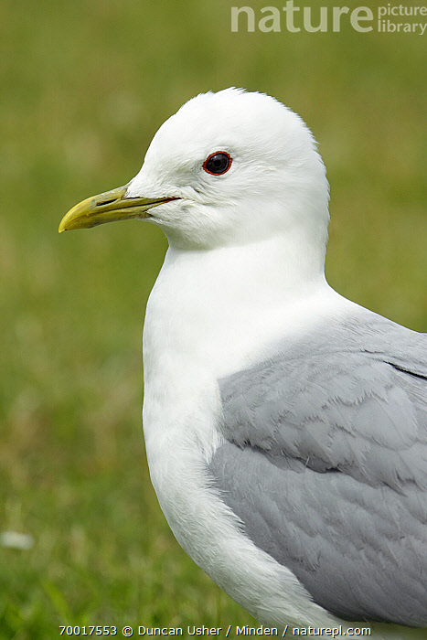 Mew Gull (Larus canus), Texel, Noord-Holland, Netherlands  ,  Adult, Color Image, Day, Head and Shoulders, Larus canus, Mew Gull, Netherlands, Nobody, Noord-Holland, One Animal, Outdoors, Photography, Portrait, Profile, Seabird, Side View, Texel, Vertical, Wildlife,Mew Gull,Netherlands  ,  Duncan Usher