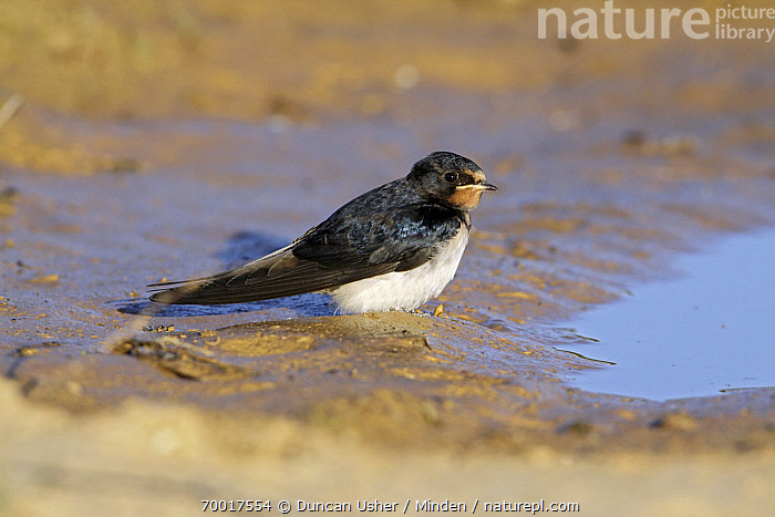 Barn Swallow (Hirundo rustica) juvenile at the waters edge, Alentejo, Portugal  ,  Alentejo, Barn Swallow, Color Image, Day, Full Length, Hirundo rustica, Horizontal, Juvenile, Mud, Nobody, One Animal, Outdoors, Photography, Portugal, Side View, Songbird, Wildlife,Barn Swallow,Portugal  ,  Duncan Usher