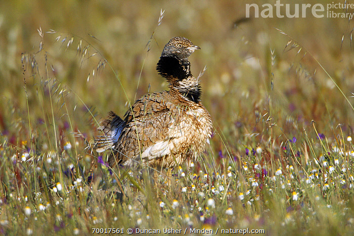 Little Bustard (Tetrax tetrax) male displaying in flowering meadow, Alentejo, Portugal  ,  Adult, Alentejo, Color Image, Day, Displaying, Full Length, Horizontal, Little Bustard, Male, Nobody, One Animal, Outdoors, Photography, Portugal, Side View, Tetrax tetrax, Wildlife,Little Bustard,Portugal  ,  Duncan Usher