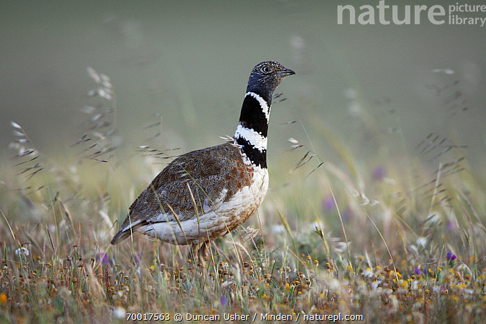 Little Bustard (Tetrax tetrax) male in meadow, Alentejo, Portugal  ,  Adult, Alentejo, Color Image, Day, Full Length, Horizontal, Little Bustard, Male, Nobody, One Animal, Outdoors, Photography, Portugal, Side View, Tetrax tetrax, Wildlife,Little Bustard,Portugal  ,  Duncan Usher