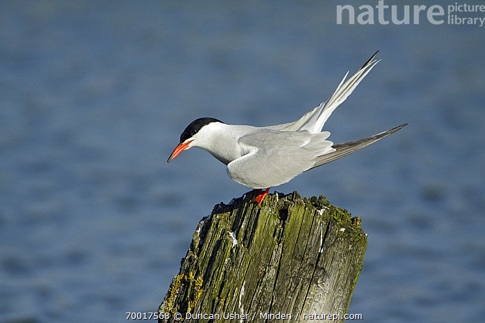 Common Tern (Sterna hirundo) on post, Texel, Noord-Holland, Netherlands  ,  Adult, Color Image, Common Tern, Day, Full Length, Horizontal, Netherlands, Nobody, Noord-Holland, One Animal, Outdoors, Photography, Seabird, Side View, Sterna hirundo, Texel, Wildlife,Common Tern,Netherlands  ,  Duncan Usher
