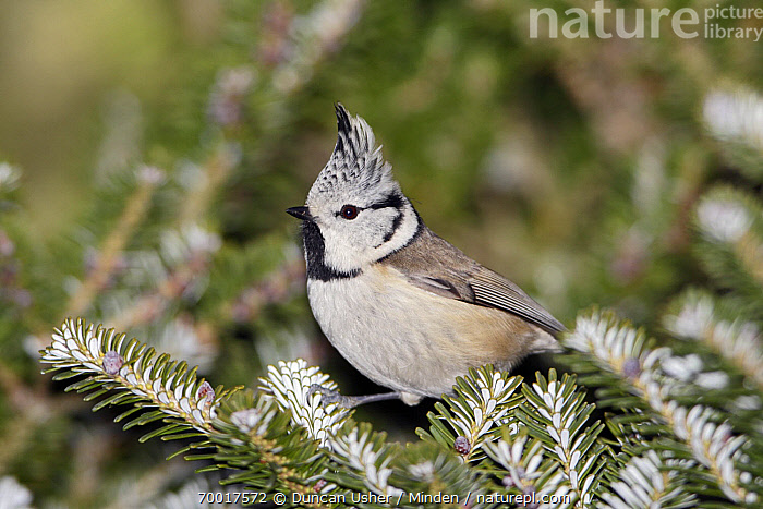 Crested Tit (Lophophanes cristatus) on fir tree branch, Lower Saxony, Germany  ,  Adult, Color Image, Crested Tit, Day, Full Length, Germany, Horizontal, Lophophanes cristatus, Lower Saxony, Nobody, One Animal, Outdoors, Photography, Side View, Wildlife,Crested Tit,Germany  ,  Duncan Usher