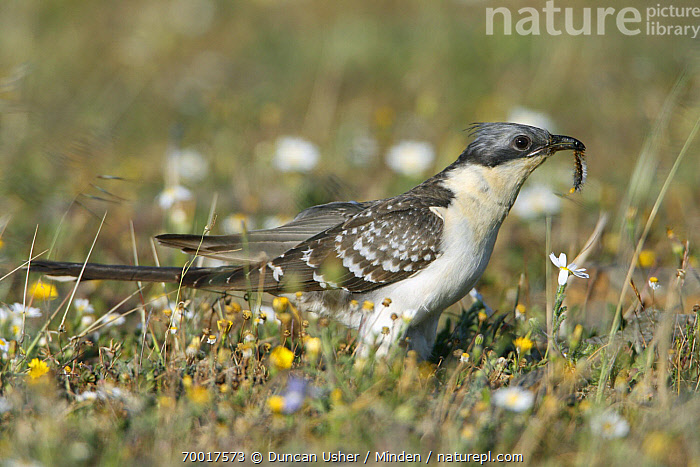 Great Spotted Cuckoo (Clamator glandarius) with caterpillar prey, Alentejo, Portugal  ,  Adult, Alentejo, Carrying, Caterpillar, Clamator glandarius, Color Image, Day, Full Length, Great Spotted Cuckoo, Horizontal, Nobody, One Animal, Outdoors, Photography, Portugal, Prey, Side View, Wildlife,Great Spotted Cuckoo,Portugal  ,  Duncan Usher