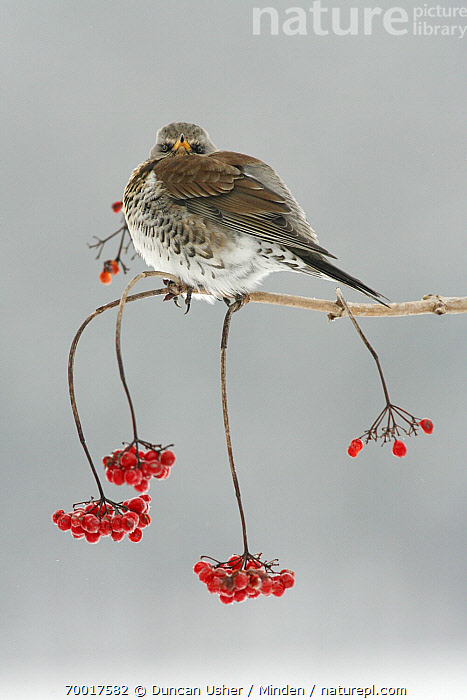Fieldfare (Turdus pilaris) with berries in winter, Lower Saxony, Germany  ,  Adult, Color Image, Day, Fieldfare, Full Length, Germany, Looking at Camera, Lower Saxony, Nobody, One Animal, Outdoors, Photography, Red, Side View, Songbird, Thermoregulating, Turdus pilaris, Vertical, Wildlife, Winter,Fieldfare,Germany  ,  Duncan Usher
