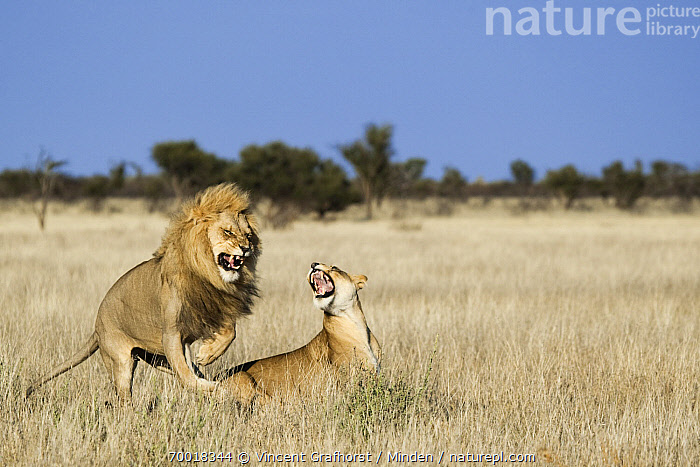 African Lion (Panthera leo) mating, Khutse Game Reserve, Botswana  ,  Adult, African Lion, Animal in Habitat, Botswana, Color Image, Day, Female, Full Length, Horizontal, Khutse Game Reserve, Lion, Lioness, Male, Mating, Nobody, Outdoors, Panthera leo, Photography, Roaring, Savanna, Side View, Threatened Species, Two Animals, Vulnerable Species, Wildlife,African Lion,Botswana  ,  Vincent Grafhorst