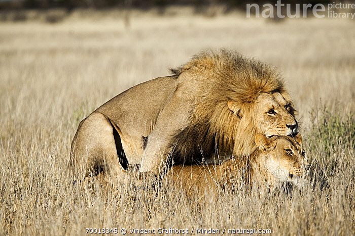 African Lion (Panthera leo) pair mating, Khutse Game Reserve, Botswana  ,  Adult, African Lion, Botswana, Color Image, Day, Female, Full Length, Horizontal, Khutse Game Reserve, Lion, Lioness, Male, Mating, Nobody, Outdoors, Panthera leo, Photography, Savanna, Side View, Threatened Species, Two Animals, Vulnerable Species, Wildlife,African Lion,Botswana  ,  Vincent Grafhorst