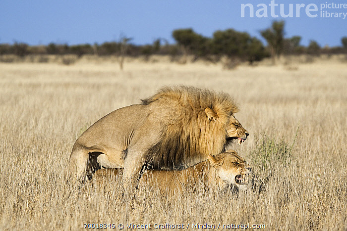 African Lion (Panthera leo) mating, Khutse Game Reserve, Botswana  ,  Adult, African Lion, Animal in Habitat, Botswana, Color Image, Day, Female, Full Length, Horizontal, Khutse Game Reserve, Male, Mating, Nobody, Outdoors, Pair, Panthera leo, Photography, Roaring, Savanna, Side View, Threatened Species, Two Animals, Vulnerable Species, Wildlife,African Lion,Botswana  ,  Vincent Grafhorst
