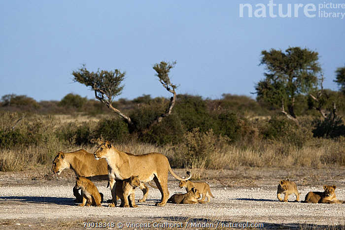 African Lion (Panthera leo) lionesses with cubs, Khutse Game Reserve, Botswana  ,  Adult, African Lion, Animal in Habitat, Botswana, Color Image, Cub, Day, Female, Full Length, Horizontal, Khutse Game Reserve, Lioness, Medium Group of Animals, Nobody, Outdoors, Panthera leo, Photography, Savanna, Side View, Threatened Species, Vulnerable Species, Wildlife,African Lion,Botswana  ,  Vincent Grafhorst