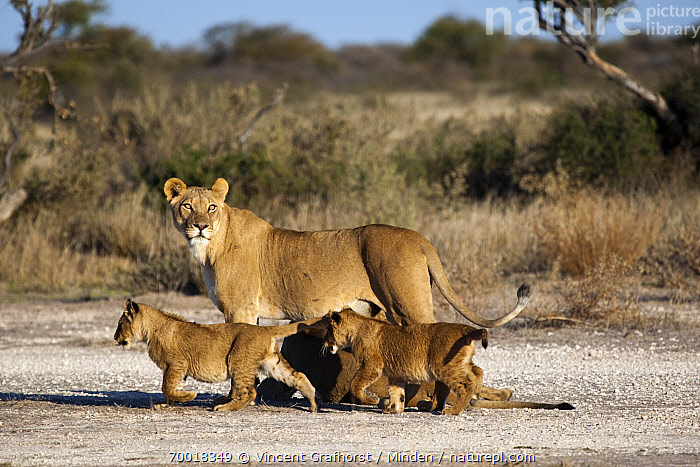 African Lion (Panthera leo) lioness with cubs, Khutse Game Reserve, Botswana  ,  Adult, African Lion, Botswana, Color Image, Cub, Day, Female, Full Length, Horizontal, Juvenile, Khutse Game Reserve, Lioness, Looking at Camera, Nobody, Outdoors, Panthera leo, Photography, Side View, Threatened Species, Three Animals, Vulnerable Species, Wildlife,African Lion,Botswana  ,  Vincent Grafhorst