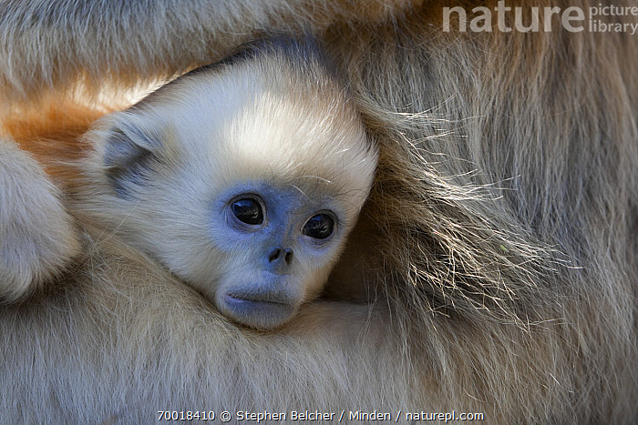 Golden Snub-nosed Monkey (Rhinopithecus roxellana) infant poking its head out from under mother's arm, Qinling Mountains, China  ,  Baby, Color Image, Cute, Day, Endangered Species, Face, Front View, Golden Snub-nosed Monkey, Horizontal, Infant, Juvenile, Nobody, One Animal, Outdoors, Photography, Portrait, Qinling Mountains, Rhinopithecus roxellana, Threatened Species, Wildlife,Golden Snub-nosed Monkey,China  ,  Stephen Belcher