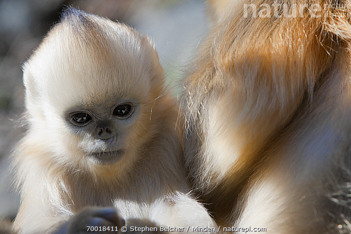 Golden Snub-nosed Monkey (Rhinopithecus roxellana) infant, Qinling Mountains, China  ,  China, Color Image, Day, Endangered Species, Front View, Golden Snub-nosed Monkey, Horizontal, Infant, Looking at Camera, Nobody, One Animal, Outdoors, Photography, Qinling Mountains, Rhinopithecus roxellana, Waist Up, Wildlife,Golden Snub-nosed Monkey,China  ,  Stephen Belcher