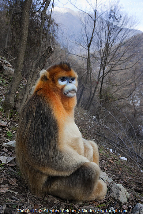 Golden Snub-nosed Monkey (Rhinopithecus roxellana) mature male, Qinling Mountains, China  ,  Adult, Color Image, Day, Endangered Species, Full Length, Golden Snub-nosed Monkey, Male, Nobody, One Animal, Outdoors, Photography, Qinling Mountains, Rhinopithecus roxellana, Side View, Sitting, Threatened Species, Vertical, Wildlife,Golden Snub-nosed Monkey,China  ,  Stephen Belcher