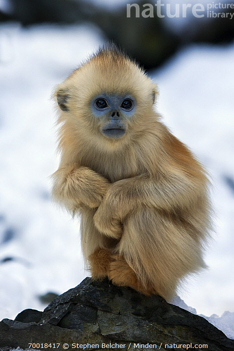 Golden Snub-nosed Monkey (Rhinopithecus roxellana) infant, Qinling Mountains, China  ,  Baby, Cold, Color Image, Cute, Day, Endangered Species, Front View, Full Length, Golden Snub-nosed Monkey, Infant, Looking at Camera, Nobody, One Animal, Outdoors, Photography, Qinling Mountains, Rhinopithecus roxellana, Threatened Species, Vertical, Wildlife,Golden Snub-nosed Monkey,China  ,  Stephen Belcher