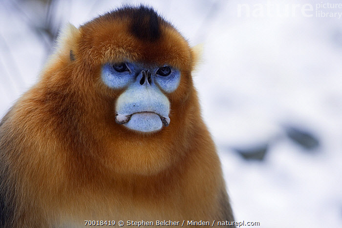 Golden Snub-nosed Monkey (Rhinopithecus roxellana) male, Qinling Mountains, China  ,  Adult, China, Color Image, Day, Endangered Species, Face, Front View, Frowning, Golden Snub-nosed Monkey, Head and Shoulders, Horizontal, Male, Nobody, One Animal, Outdoors, Photography, Portrait, Qinling Mountains, Rhinopithecus roxellana, Wildlife,Golden Snub-nosed Monkey,China  ,  Stephen Belcher