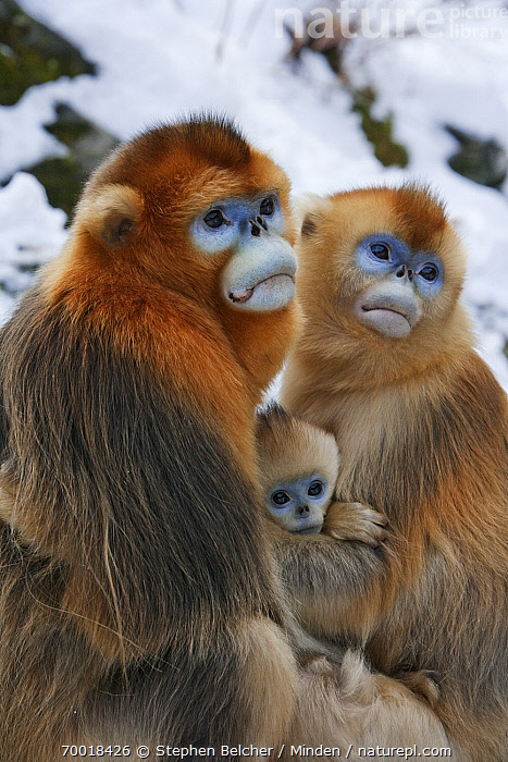 Golden Snub-nosed Monkey (Rhinopithecus roxellana) family, Qinling Mountains, China  ,  Adult, Baby, Color Image, Day, Endangered Species, Family, Father, Female, Golden Snub-nosed Monkey, Infant, Male, Mother, Nobody, Outdoors, Parent, Photography, Qinling Mountains, Rhinopithecus roxellana, Side View, Threatened Species, Three Animals, Three Quarter Length, Vertical, Wildlife,Golden Snub-nosed Monkey,China  ,  Stephen Belcher
