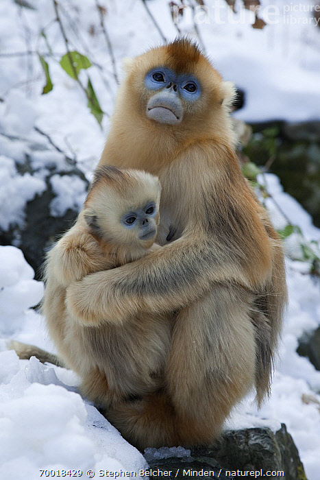 Golden Snub-nosed Monkey (Rhinopithecus roxellana) mother holding infant, Qinling Mountains, China  ,  Adult, Affection, Baby, Clinging, Color Image, Cuddling, Day, Endangered Species, Female, Front View, Full Length, Golden Snub-nosed Monkey, Hugging, Infant, Juvenile, Mother, Nobody, Outdoors, Parent, Photography, Qinling Mountains, Rhinopithecus roxellana, Side View, Snow, Threatened Species, Two Animals, Vertical, Wildlife, Winter,Golden Snub-nosed Monkey,China  ,  Stephen Belcher