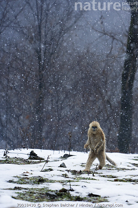 Golden Snub-nosed Monkey (Rhinopithecus roxellana) juvenile walking upright through snowfall, Qinling Mountains, China  ,  Animal in Habitat, China, Color Image, Day, Endangered Species, Front View, Full Length, Golden Snub-nosed Monkey, Juvenile, Looking at Camera, Nobody, One Animal, Outdoors, Photography, Qinling Mountains, Rhinopithecus roxellana, Snow, Snowing, Snowfall, Standing, Upright, Vertical, Walking, Wildlife,Golden Snub-nosed Monkey,China  ,  Stephen Belcher