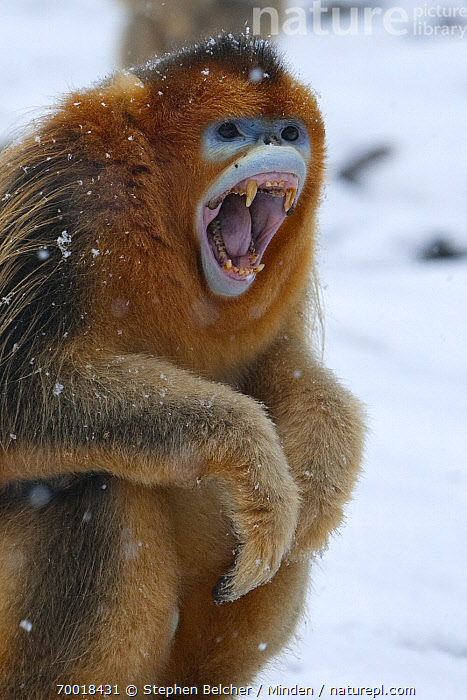 Golden Snub-nosed Monkey (Rhinopithecus roxellana) male calling and showing canines, Qinling Mountains, China  ,  Adult, Calling, China, Color Image, Day, Displaying, Endangered Species, Fang, Golden Snub-nosed Monkey, Male, Nobody, One Animal, Open Mouth, Outdoors, Photography, Qinling Mountains, Rhinopithecus roxellana, Side View, Three Quarter Length, Tooth, Vertical, Vocalizing, Wildlife,Golden Snub-nosed Monkey,China  ,  Stephen Belcher