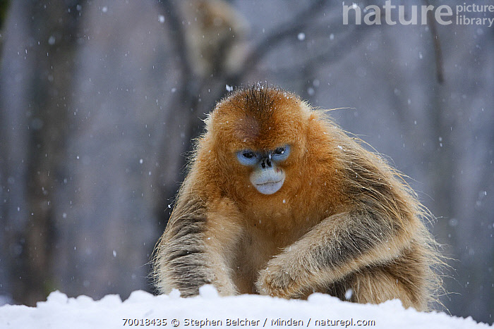 Golden Snub-nosed Monkey (Rhinopithecus roxellana) juvenile male foraging for food in the snow, Qinling Mountains, China  ,  China, Color Image, Day, Endangered Species, Foraging, Front View, Golden Snub-nosed Monkey, Horizontal, Juvenile, Nobody, One Animal, Outdoors, Photography, Qinling Mountains, Rhinopithecus roxellana, Snow, Three Quarter Length, Wildlife,Golden Snub-nosed Monkey,China  ,  Stephen Belcher