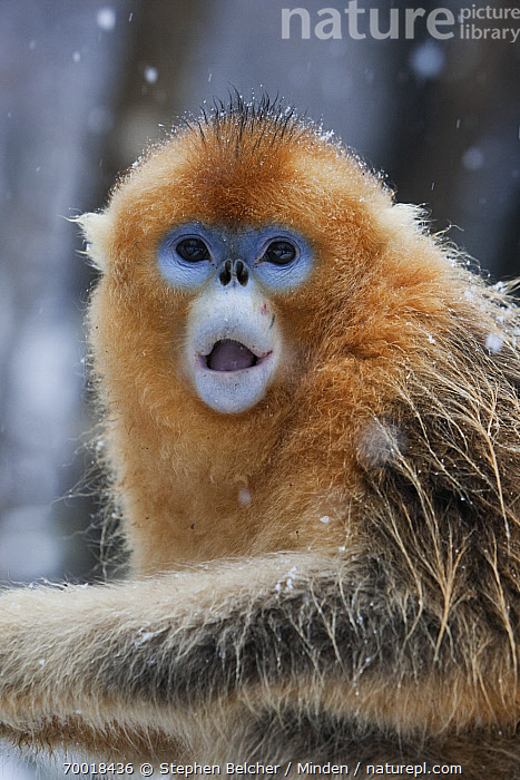 Golden Snub-nosed Monkey (Rhinopithecus roxellana) juvenile male with surprised expression on face, Qinling Mountains, China  ,  China, Color Image, Day, Emoting, Endangered Species, Golden Snub-nosed Monkey, Head and Shoulders, Juvenile, Looking at Camera, Nobody, One Animal, Open Mouth, Outdoors, Photography, Portrait, Qinling Mountains, Rhinopithecus roxellana, Side View, Snowing, Snowfall, Vertical, Wildlife,Golden Snub-nosed Monkey,China  ,  Stephen Belcher