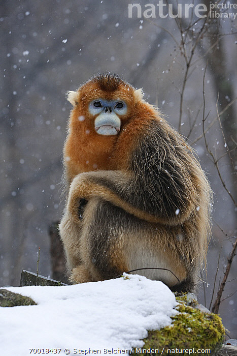 Golden Snub-nosed Monkey (Rhinopithecus roxellana) male in the snow, Qinling Mountains, China  ,  Adult, Color Image, Day, Endangered Species, Full Length, Golden Snub-nosed Monkey, Looking at Camera, Male, Nobody, One Animal, Outdoors, Photography, Qinling Mountains, Rhinopithecus roxellana, Side View, Sitting, Snow, Snowing, Snowfall, Threatened Species, Vertical, Wildlife,Golden Snub-nosed Monkey,China  ,  Stephen Belcher