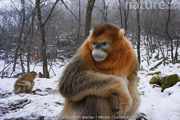 Golden Snub-nosed Monkey (Rhinopithecus roxellana) male in the snow, Qinling Mountains, China  ,  Adult, Animal in Habitat, China, Color Image, Day, Endangered Species, Forest, Golden Snub-nosed Monkey, Horizontal, Male, Nobody, One Animal, Outdoors, Photography, Qinling Mountains, Rhinopithecus roxellana, Side View, Snow, Three Quarter Length, Wildlife, Winter,Golden Snub-nosed Monkey,China  ,  Stephen Belcher
