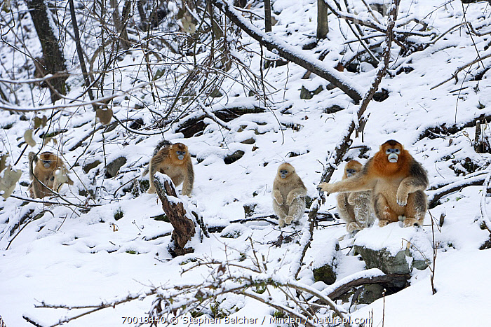Golden Snub-nosed Monkey (Rhinopithecus roxellana) male at head of group in the snow, Qinling Mountains, China  ,  Adult, Animal in Habitat, China, Cold, Color Image, Day, Endangered Species, Forest, Front View, Full Length, Golden Snub-nosed Monkey, Hillside, Horizontal, Juvenile, Leadership, Male, Medium Group of Animals, Nobody, Outdoors, Photography, Qinling Mountains, Rhinopithecus roxellana, Snow, Troop, Wildlife, Winter,Golden Snub-nosed Monkey,China  ,  Stephen Belcher