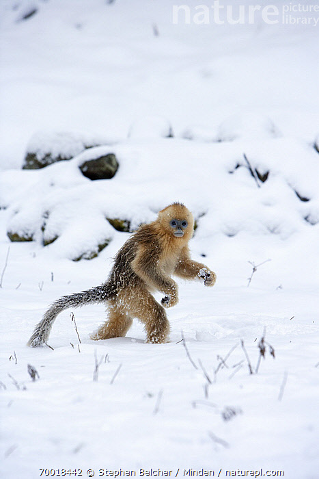 Golden Snub-nosed Monkey (Rhinopithecus roxellana) juvenile walking upright through the snow, Qinling Mountains, China  ,  Cold, Color Image, Day, Endangered Species, Full Length, Golden Snub-nosed Monkey, Infant, Juvenile, Nobody, One Animal, Outdoors, Photography, Qinling Mountains, Rhinopithecus roxellana, Side View, Snow, Standing, Threatened Species, Upright, Vertical, Walking, Wildlife, Winter,Golden Snub-nosed Monkey,China  ,  Stephen Belcher