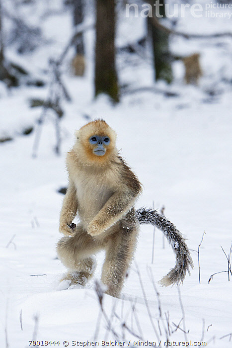 Golden Snub-nosed Monkey (Rhinopithecus roxellana) juvenile walking upright through the snow, Qinling Mountains, China  ,  China, Color Image, Day, Endangered Species, Front View, Full Length, Golden Snub-nosed Monkey, Juvenile, Nobody, One Animal, Outdoors, Photography, Qinling Mountains, Rhinopithecus roxellana, Snow, Standing, Upright, Vertical, Wildlife,Golden Snub-nosed Monkey,China  ,  Stephen Belcher