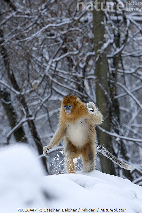 Golden Snub-nosed Monkey (Rhinopithecus roxellana) male walking upright through the snow, Qinling Mountains, China  ,  Adult, China, Color Image, Day, Endangered Species, Front View, Full Length, Golden Snub-nosed Monkey, Male, Nobody, One Animal, Outdoors, Photography, Qinling Mountains, Rhinopithecus roxellana, Snow, Upright, Vertical, Walking, Wildlife,Golden Snub-nosed Monkey,China  ,  Stephen Belcher