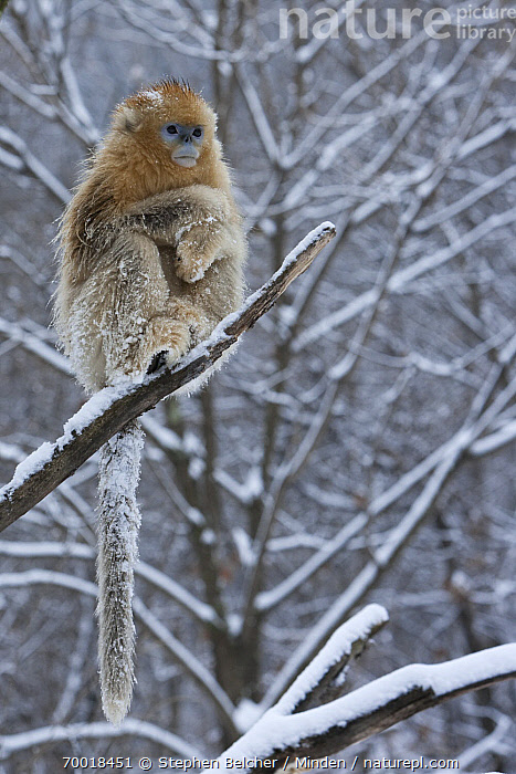 Golden Snub-nosed Monkey (Rhinopithecus roxellana) female on snow-covered tree branch, Qinling Mountains, China  ,  Adult, Arboreal, Branch, Cold, Color Image, Day, Endangered Species, Female, Front View, Full Length, Golden Snub-nosed Monkey, Nobody, One Animal, Outdoors, Photography, Qinling Mountains, Rhinopithecus roxellana, Snow, Threatened Species, Vertical, Wildlife, Winter,Golden Snub-nosed Monkey,China  ,  Stephen Belcher