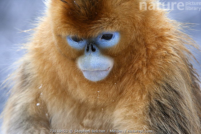 Golden Snub-nosed Monkey (Rhinopithecus roxellana) young male, Qinling Mountains, China  ,  China, Color Image, Day, Endangered Species, Face, Front View, Golden Snub-nosed Monkey, Head and Shoulders, Horizontal, Juvenile, Nobody, One Animal, Outdoors, Photography, Portrait, Qinling Mountains, Rhinopithecus roxellana, Wildlife,Golden Snub-nosed Monkey,China  ,  Stephen Belcher