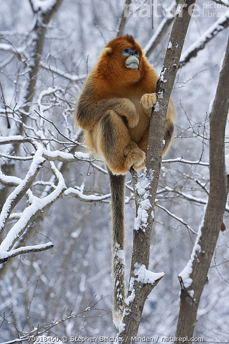 Golden Snub-nosed Monkey (Rhinopithecus roxellana) male in snow-covered tree, Qinling Mountains, China  ,  Adult, Arboreal, Branch, Color Image, Day, Endangered Species, Front View, Full Length, Golden Snub-nosed Monkey, Male, Nobody, One Animal, Outdoors, Photography, Qinling Mountains, Rhinopithecus roxellana, Snow, Threatened Species, Tree, Vertical, Wildlife, Winter,Golden Snub-nosed Monkey,China  ,  Stephen Belcher