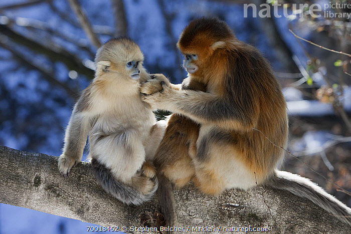 Golden Snub-nosed Monkey (Rhinopithecus roxellana) young male and juvenile, Qinling Mountains, China  ,  Color Image, Day, Endangered Species, Full Length, Golden Snub-nosed Monkey, Horizontal, Interacting, Juvenile, Male, Nobody, Outdoors, Photography, Qinling Mountains, Rhinopithecus roxellana, Side View, Subadult, Threatened Species, Two Animals, Wildlife,Golden Snub-nosed Monkey,China  ,  Stephen Belcher