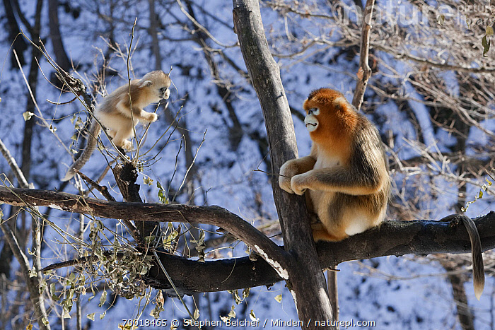 Golden Snub-nosed Monkey (Rhinopithecus roxellana) male and baby in tree, Qinling Mountains, China  ,  Adult, Arboreal, Baby, China, Color Image, Day, Endangered Species, Full Length, Golden Snub-nosed Monkey, Horizontal, Male, Nobody, Outdoors, Photography, Qinling Mountains, Rhinopithecus roxellana, Side View, Two Animals, Wildlife,Golden Snub-nosed Monkey,China  ,  Stephen Belcher