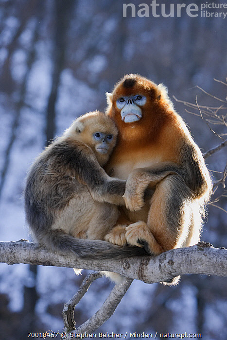 Golden Snub-nosed Monkey (Rhinopithecus roxellana) male and female cuddling, Qinling Mountains, China  ,  Adult, Arboreal, Backlighting, Color Image, Day, Endangered Species, Female, Front View, Full Length, Golden Snub-nosed Monkey, Juvenile, Male, Nobody, Outdoors, Photography, Qinling Mountains, Rhinopithecus roxellana, Side View, Sitting, Threatened Species, Two Animals, Vertical, Wildlife,Golden Snub-nosed Monkey,China  ,  Stephen Belcher
