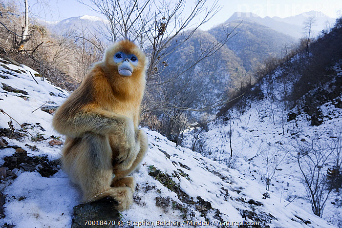 Golden Snub-nosed Monkey (Rhinopithecus roxellana) juvenile, Qinling Mountains, China  ,  Animal in Habitat, Animal in Landscape, Color Image, Day, Endangered Species, Front View, Full Length, Golden Snub-nosed Monkey, Horizontal, Juvenile, Landscape, Looking at Camera, Mountain, Nobody, One Animal, Outdoors, Photography, Qinling Mountains, Rhinopithecus roxellana, Snow, Threatened Species, Wide-angle Lens, Wildlife, Winter,Golden Snub-nosed Monkey,China  ,  Stephen Belcher