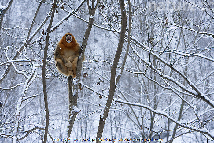 Golden Snub-nosed Monkey (Rhinopithecus roxellana) male calling in snow-covered tree, Qinling Mountains, China  ,  Adult, Animal in Habitat, Arboreal, Color Image, Day, Endangered Species, Front View, Full Length, Golden Snub-nosed Monkey, Horizontal, Male, Nobody, One Animal, Open Mouth, Outdoors, Photography, Qinling Mountains, Rhinopithecus roxellana, Threatened Species, Vocalizing, Wildlife, Winter,Golden Snub-nosed Monkey,China  ,  Stephen Belcher
