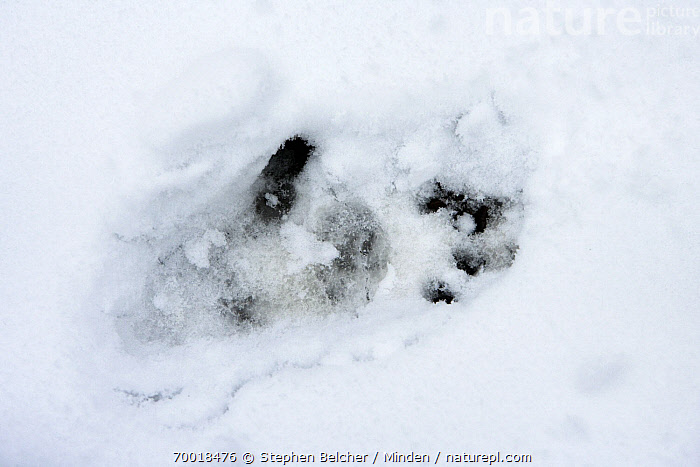 Golden Snub-nosed Monkey (Rhinopithecus roxellana) footprint in snow, Qinling Mountains, China  ,  Animal Sign, China, Color Image, Day, Endangered Species, Footprint, Full Frame, Golden Snub-nosed Monkey, Horizontal, Nobody, Outdoors, Photography, Qinling Mountains, Rhinopithecus roxellana, Snow, Track,Golden Snub-nosed Monkey,China  ,  Stephen Belcher