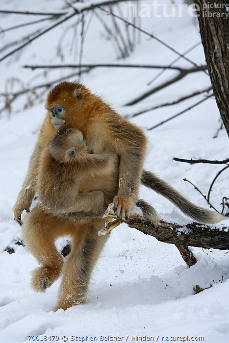 Golden Snub-nosed Monkey (Rhinopithecus roxellana) mother walking upright with infant in the snow, Qinling Mountains, China  ,  Adult, China, Clinging, Color Image, Day, Endangered Species, Female, Full Length, Golden Snub-nosed Monkey, Mother, Nobody, Outdoors, Parent, Photography, Qinling Mountains, Rhinopithecus roxellana, Side View, Snow, Two Animals, Upright, Vertical, Walking, Wildlife, Young,Golden Snub-nosed Monkey,China  ,  Stephen Belcher