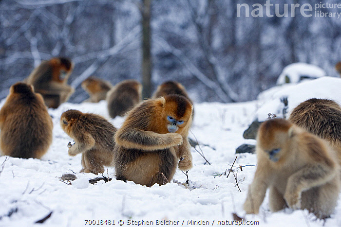 Golden Snub-nosed Monkey (Rhinopithecus roxellana) group searching for food in the snow, Qinling Mountains, China  ,  China, Color Image, Day, Endangered Species, Foraging, Full Length, Golden Snub-nosed Monkey, Horizontal, Medium Group of Animals, Nobody, Outdoors, Photography, Qinling Mountains, Rhinopithecus roxellana, Side View, Snow, Troop, Wildlife,Golden Snub-nosed Monkey,China  ,  Stephen Belcher