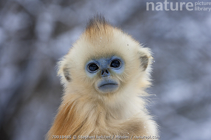 Golden Snub-nosed Monkey (Rhinopithecus roxellana) an infant, Qinling Mountains, China  ,  Baby, Color Image, Cute, Day, Endangered Species, Front View, Golden Snub-nosed Monkey, Head and Shoulders, Horizontal, Infant, Looking at Camera, Nobody, One Animal, Outdoors, Photography, Portrait, Qinling Mountains, Rhinopithecus roxellana, Threatened Species, Wildlife,Golden Snub-nosed Monkey,China  ,  Stephen Belcher